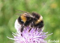 können honigbiene stechen